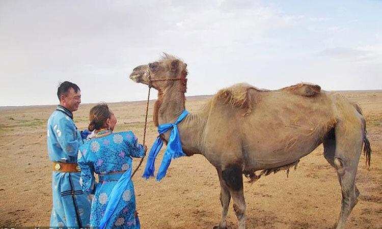 ماجرای فرار یک شتر باوفا ، حیوانی که پس از 9 ماه به خانه بازگشت