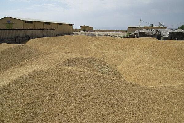 6 مرکز خرید گندم در بوکان راه اندازی شد